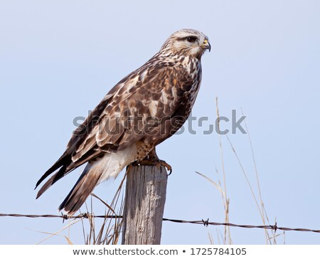 Rough Legged Hawk Stock photo © pictureguy