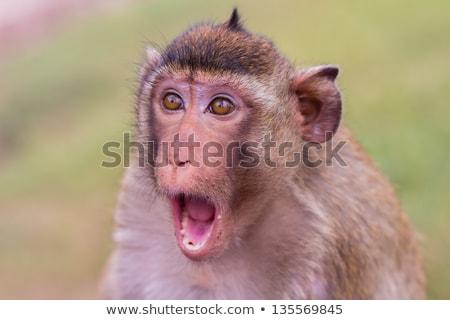 Stock fotó: Zavart · csúnya · majom · rajz · illusztráció · néz