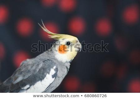 Assustado pequeno papagaio desenho animado ilustração olhando Foto stock © cthoman
