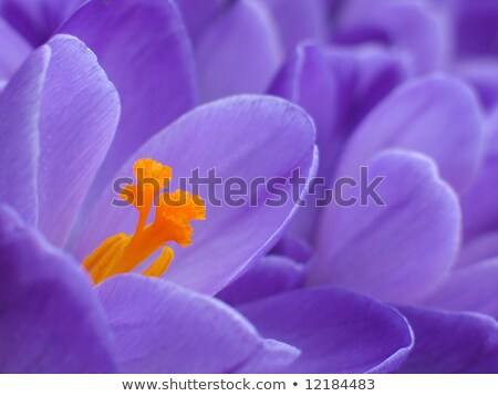 Crocus flower with purple petals in detail among many crocuses Stock photo © sarahdoow