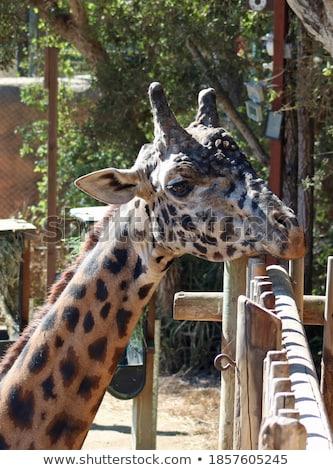 Giraffe right look Stock photo © bobkeenan