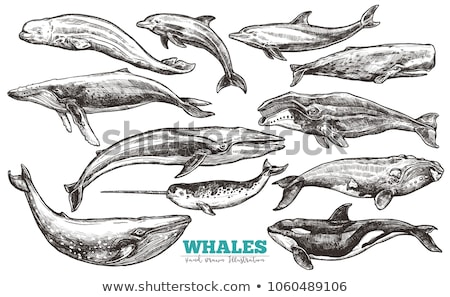 Assassino balena sketch stile acqua Foto d'archivio © Arkadivna
