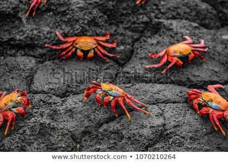 Sally Lightfoot Crabs on Galapagos Islands or Graspus Graspus Stock photo © Maridav