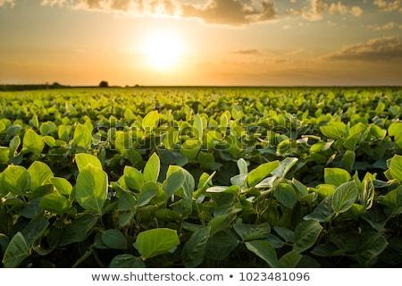 Szójabab mező nyár mezőgazdaság zöld citromsárga Stock fotó © simazoran
