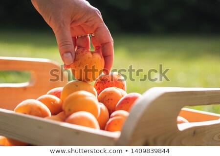 Homme agriculteur abricot fruits verger Photo stock © simazoran