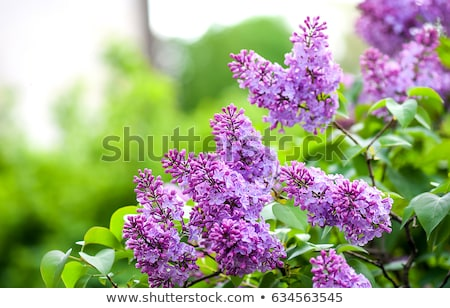 Blooming Lilac flowers in a tree the garden Stock photo © ElenaBatkova