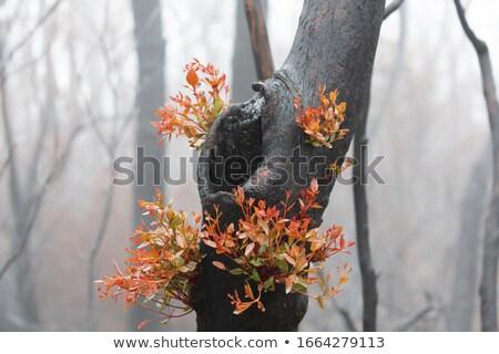 A burnt tree flourishing with bright new growth Stock photo © lovleah