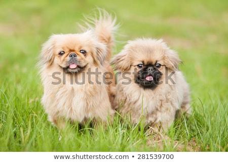 щенков · собака · соломы · корзины · молодые · животного - Сток-фото © raywoo