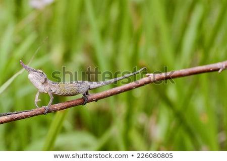 Foto stock: Lagarto · escalada · ramo · colorido · secar · isolado