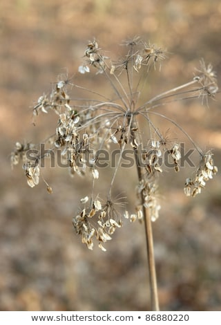 sere filigree grass closeup Stock photo © prill