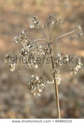 Sere Filigree Grass Closeup Photo stock © PRILL