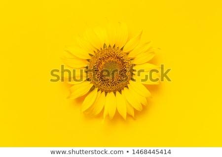 Ayçiçeği sarı ayçiçeği bağlılık umut Stok fotoğraf © Dizski