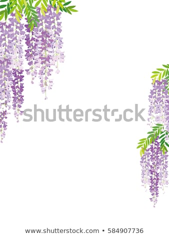 beautiful wisteria flowers Stock photo © smithore