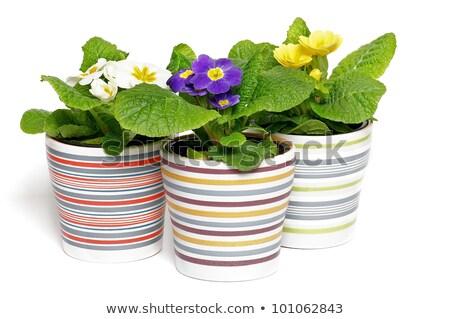 flor · amarela · prímula · macro · isolado · branco · casa - foto stock © zhekos