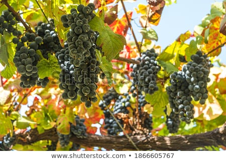 Wine and wine-bearing grape leaves. stock photo © justinb