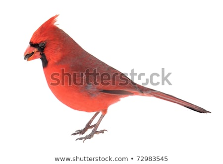 Red Male Cardinal Stock photo © Kenneth_Keifer