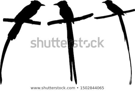 птица · рай · один · экзотический · птиц · Папуа-Новая · Гвинея - Сток-фото © perysty