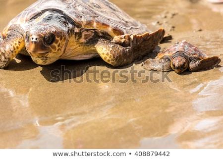 mother and baby turtle stock photo © dagadu