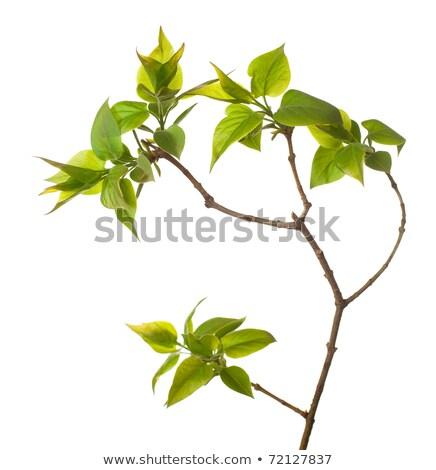 Ramo folha verde um isolado branco Foto stock © boroda