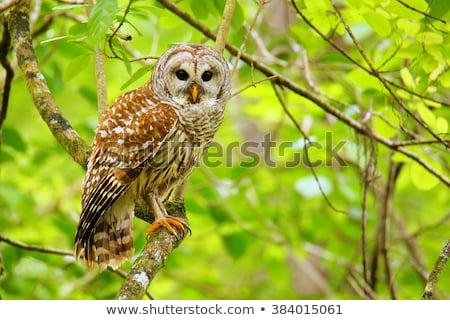 Sowa drzewo limb Zdjęcia stock © raptorcaptor