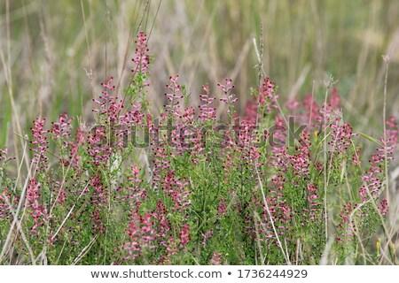 Stockfoto: Roze · paars · bloemen · voorjaar · weide · bloem