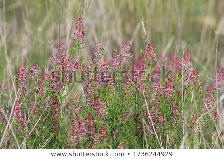 roze · daisy · bloemen · mooie · vers - stockfoto © lunamarina