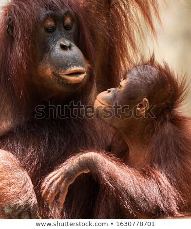Orangutan anne bakıyor mutlu içerik bebek Stok fotoğraf © KMWPhotography