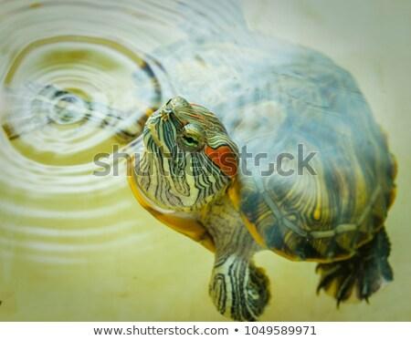 swimming red eared slider turtle stock photo © sirylok
