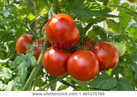 Vers Rood tomaten groeiend wijnstok bos Stockfoto © stocker