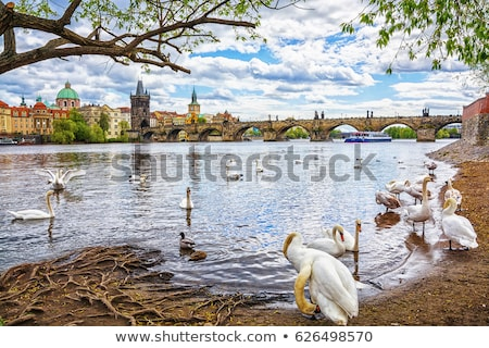 Swans on Vltava river Stock photo © hitdelight