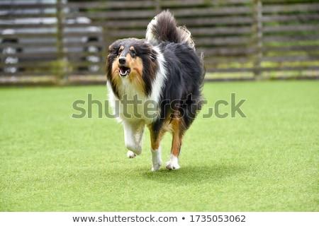Бордер колли собака долго трава Сток-фото © Joningall