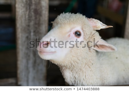 young sheep  Stock photo © OleksandrO