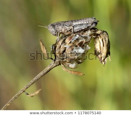 ストックフォト: A Grasshopper Standing On The Top Of Flowers