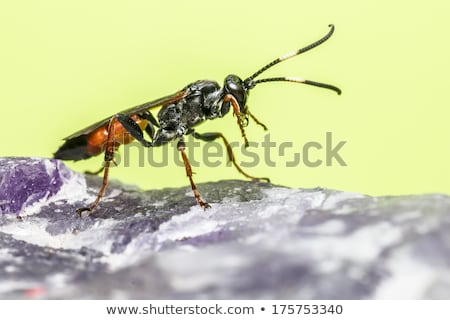 The Ichneumon Wasp (Coelichneumon viola) Stock photo © t3rmiit