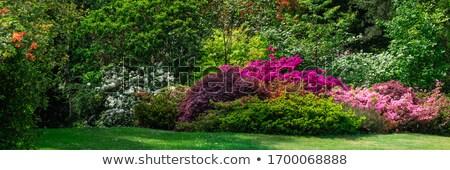 İngilizce bahçe bitkiler çiçekler su gül Stok fotoğraf © compuinfoto