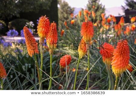 цветок желтый красный Сток-фото © meltem