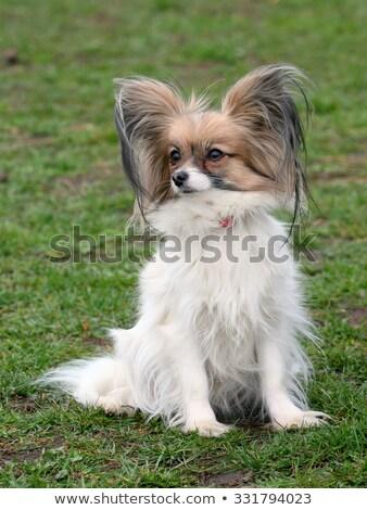 Tipikus fiatal kutya kert kontinentális játék Stock fotó © CaptureLight