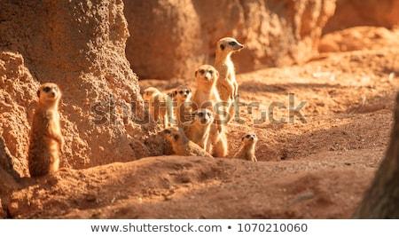 日没 · 自然 · シルエット · 動物 · アフリカ · 毛皮 - ストックフォト © adrenalina