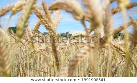 Harvest ready triticale ears, hybrid of wheat and rye Stock photo © stevanovicigor