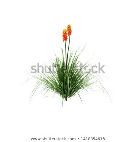Kırmızı sıcak poker çiçek çiçek bitki Stok fotoğraf © smartin69