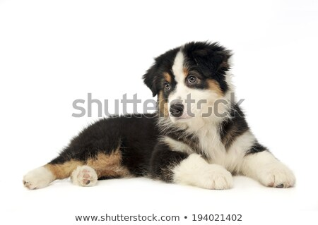 Puppy Australian shepherd lying in the whte studio floor stock photo © vauvau
