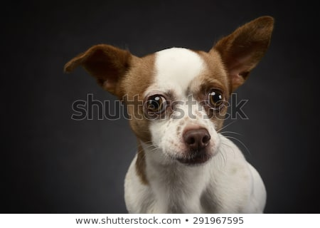 ugly flying ears chihuahua portrait in a gray background stock photo © vauvau