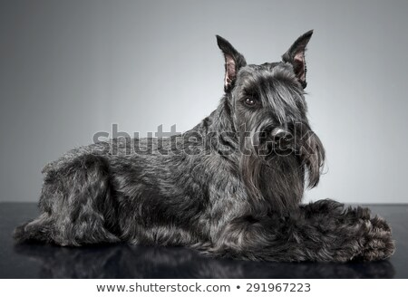 Miniature Schnauzer relaxing in a gray studio background Stock photo © vauvau