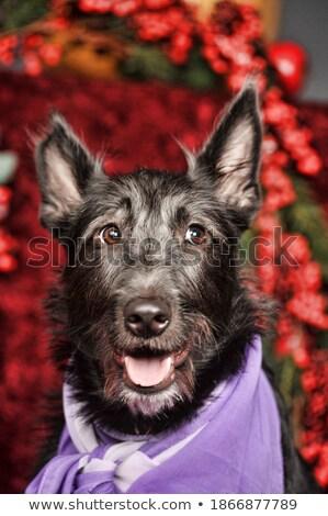 cute yorkshire terrier sitting in a black photo studio stock photo © vauvau