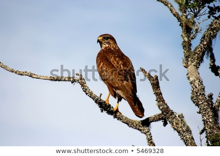 Yellow-billed kite sitting on a branch. Stock photo © simoneeman