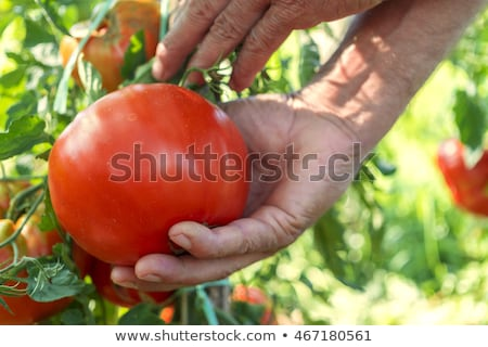 Freshly picked organic tomatoes Stock photo © naffarts