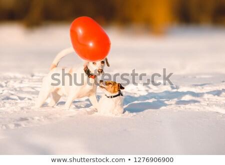 Cane Coppia amore rosso palloncini a forma di cuore Foto d'archivio © orensila