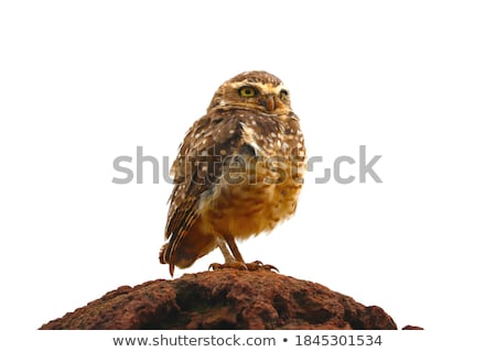 Little Owl. Stock photo © chris2766