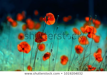 Summer Meadow / Poppy Field / nature background or wallpaper Stock photo © Taiga