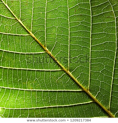 Stock photo: Macro photo of green leaf with veined pattern. Natural background for layout. Top view